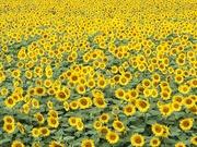 【 スタッフブログ 】鈴木「ひまわり畑」